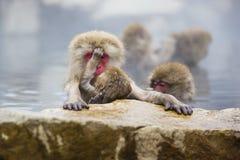 天性:野生婴孩雪猴子清洁妈妈 免版税库存图片