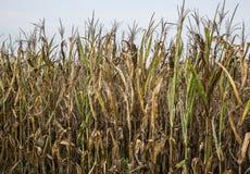 天旱之前损坏的玉米庄稼 免版税库存图片