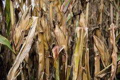 天旱之前毁坏的玉米庄稼 库存照片
