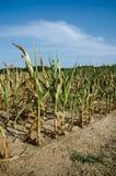 天旱损坏的玉米 库存图片