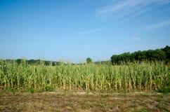 天旱损坏的玉米 免版税库存照片