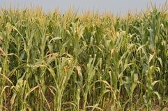 天旱玉米  库存图片