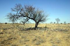 天旱结构树 免版税库存图片