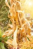 天旱被染黄的玉米在秋天 库存照片