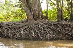 天旱:树由河岸的根曝光 库存照片