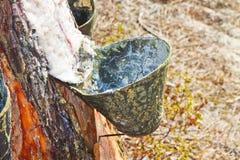 天然树脂的提取从杉树树干的 免版税库存图片