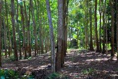 天然橡胶在印度尼西亚 免版税库存照片