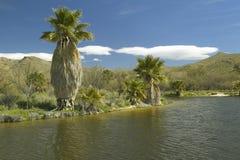天然泉和棕榈树,在阿瓜峡谷的一片自然绿洲在图森, AZ 图库摄影