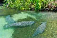 天然泉, Weeki Wachee,佛罗里达 免版税库存图片