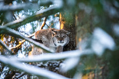天猫座在一个冬天森林里在一个夏日 图库摄影