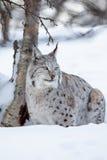 天猫座在挪威冬天森林里 免版税库存图片