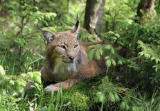 天猫座在森林里 免版税库存图片