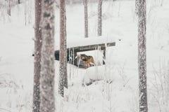 天猫座在雪白森林里 图库摄影