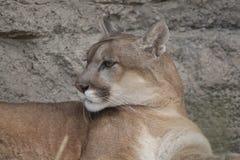 天猫座或美洲狮,美洲狮concolor 免版税库存照片