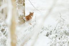 天猫座暗藏的雪森林欧亚天猫座冬天 从捷克自然的野生生物场面 斯诺伊猫在自然栖所 有年轻人的, w母亲 免版税图库摄影