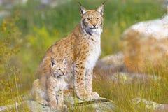 天猫座母亲和她的崽在森林里坐 库存图片