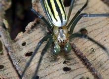 天猫座牺牲者的蜘蛛狩猎 免版税库存图片