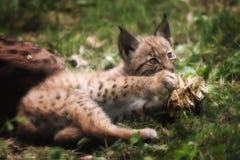 年轻天猫座美洲野猫 免版税库存图片