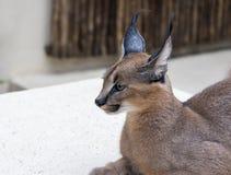 天猫座野生猫在非洲 免版税库存图片