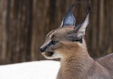 天猫座野生猫在非洲 库存照片