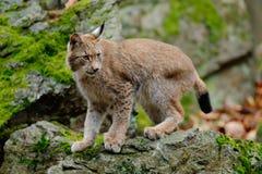 天猫座,走在与绿色岩石的绿色青苔石头的欧亚野生猫在背景,动物在自然栖所,德国中 库存照片