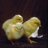 天的小鸡 库存照片