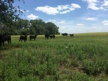 天的牛 库存图片