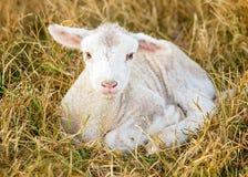 天的羊羔 免版税库存照片
