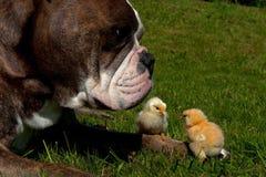 天的鸡消磨时间和一只老英国牛头犬一起 免版税库存图片