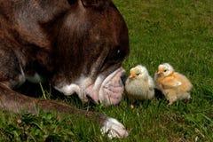 天的鸡消磨时间和一只老英国牛头犬一起 免版税库存照片