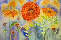 天真万寿菊有蓝色和橙色背景 免版税图库摄影