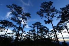 天空在杉木森林里 免版税图库摄影