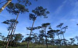 天空在杉木森林里 库存照片