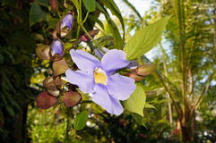 天空大花花的藤本植物 免版税库存图片