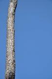 天空树干 免版税库存照片