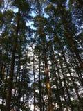 天空由密集和挺直树盖 免版税库存照片