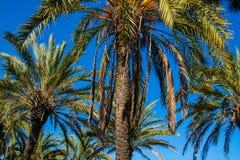 天空的棕榈树 免版税图库摄影