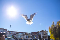 从天空的海鸥着陆 免版税库存图片
