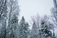 天空背景的斯诺伊森林  免版税库存图片