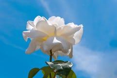 天空背景的白玫瑰 免版税库存照片