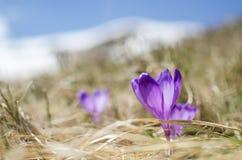 天空花、番红花、草和雪在山 库存图片