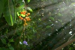 天空花,金黄露滴,鸽子莓果 免版税库存图片