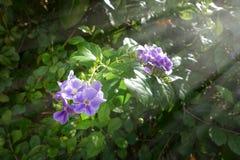 天空花,金黄露滴,鸽子莓果 库存照片
