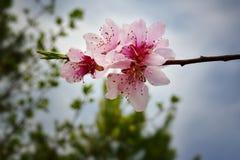 `天空芽`宏观桃子开花反对深绿树和蓝天 库存图片