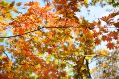 天空通过秋天槭树叶子 免版税库存照片