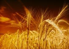 天空麦子 免版税图库摄影
