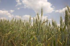 天空麦子 免版税库存照片