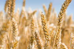 天空wheatfield 免版税库存照片