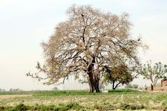 天竺菩提树绿色征收 库存图片