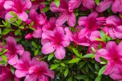 天竺葵大竺葵小组明亮的樱桃色 免版税库存照片